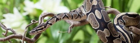 royal-python