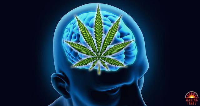 Cannabis-Brain