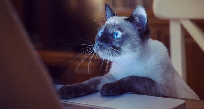 cat using laptop
