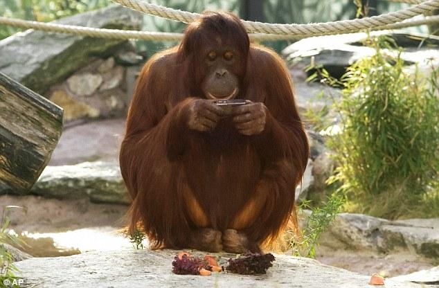 orangutan_camera