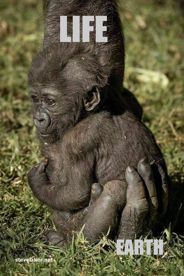 Gorilla FFF