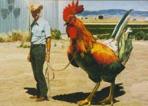 poulet3_0