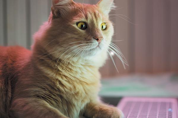 cat-on-laptop